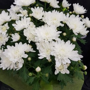 Potted Chrysanthemum plant gift wrapped